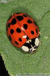 asian-lady-beetle