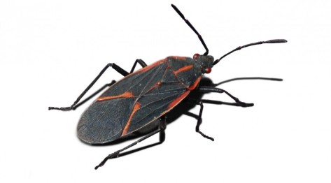 Box-Elder-Bug-900x500